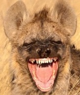 Hyena appears to laugh, Kgalagadi Transfrontier Park, South Africa - Aug 2012