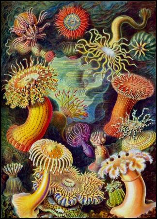 Ernst Haeckel. Vintage Sea Anemones