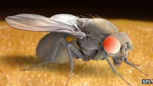 A male fruit fly - Drosophila melongaster