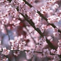 Sakura! Sakura! サクラ、サクラ 桜