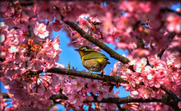 in blossoms a horsefly plays… don't eat it friend-sparrow. (Matsuo Basho)
