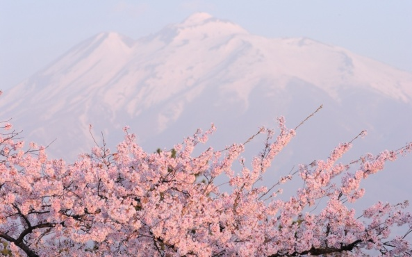 The mountain guide  simply takes no notice of the cherry blossoms. (Yosa Buson)