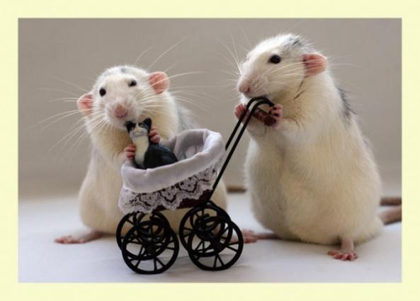 2 rats