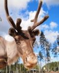 Reindeer TVOKM
