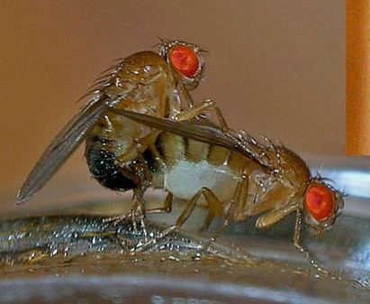 Fruit-flies-mating