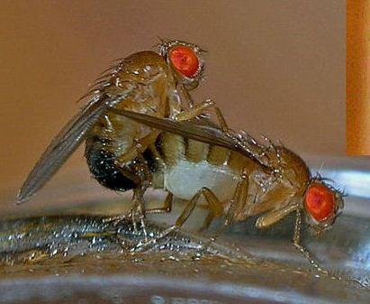 Fruit-flies-mating