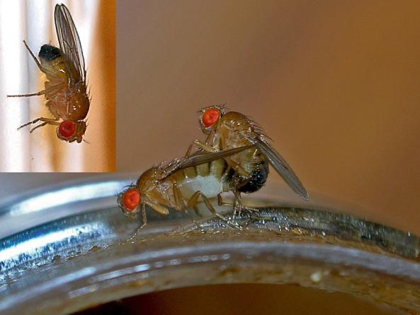 Fruit_flies