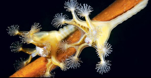 Lucernaria quadricornis
