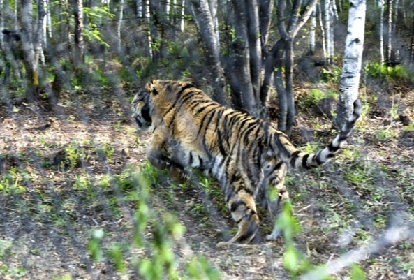"One of the tigers in the refuge ""Zheludinsky"" Primorye Photo: Dmitry Azarov / ""Kommersant"""