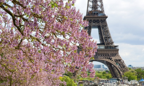 Spring in Paris. Blossoming jacarandas and the Eiffel Tower. Foc