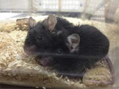 Siamese_mice_0