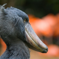 Amazing Shoebill